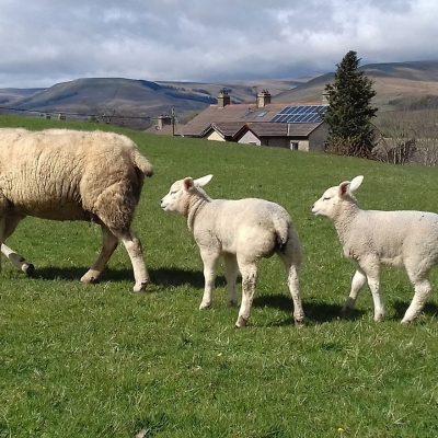 NY Moors Lambs